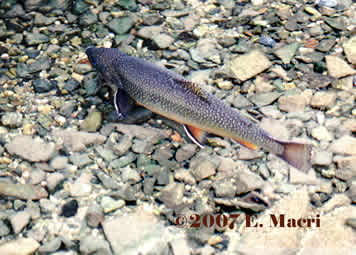 Spring Creek Brook Trout
